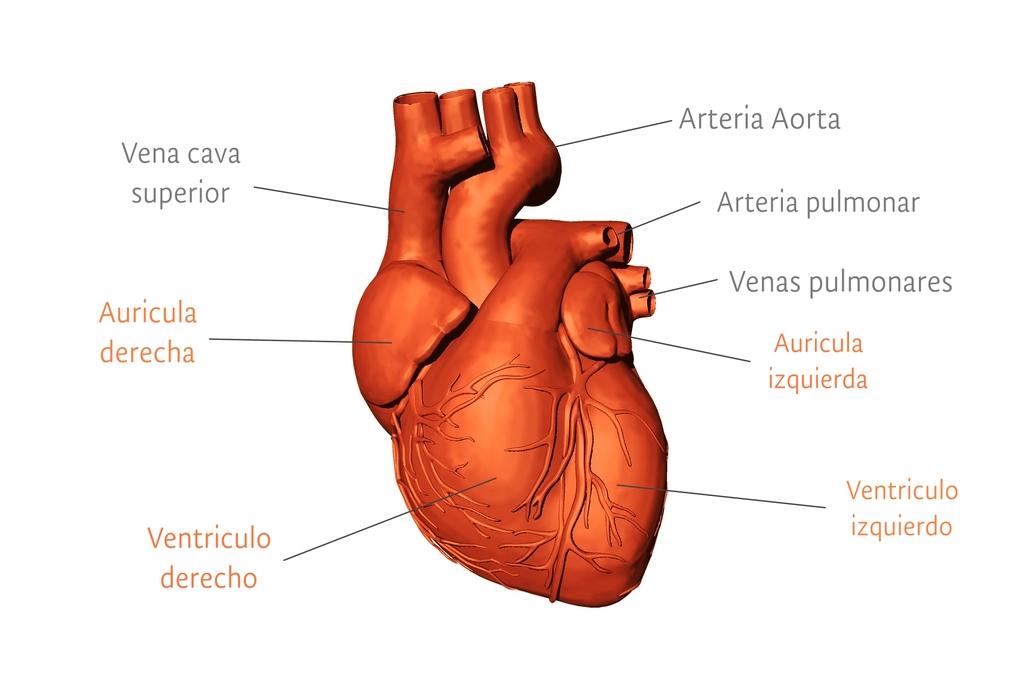 Fisiosaludable - El músculo cardiaco