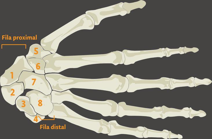 Fisiosaludable - Los ocho huesos del carpo