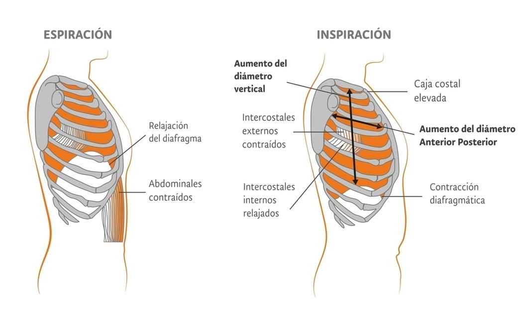 Fisiosaludable - Músculos que causan la expansión y contracción pulmonar